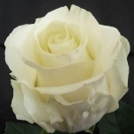 First Lady Roses d'Equateur Ethiflora